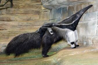 Anuncian el nacimiento de una cría de oso hormiguero en el zoológico Brookfield