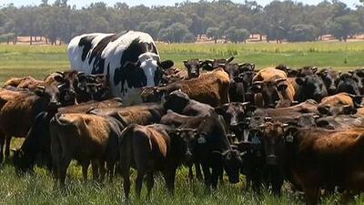 Aunque no lo creas, este res gigante es real y dirige a vacas en una granja de Australia