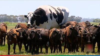 Vaca se salva de ser sacrificada por sus gigantescas proporciones
