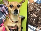 Chihuahua logra sobrevivir tras ser puesta en una bolsa cerrada dentro de un contenedor