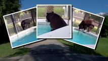 Enorme oso invade una casa en Florida para bañarse en la piscina