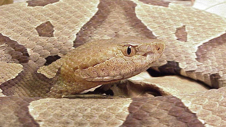 serpiente copperhead