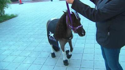 Mini caballos de terapia estarán presentes en el Desfile de las Rosas
