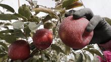 Con una manzana que recuerda a los cielos estrellados, los productores quieren cambiar el mercado (fotos)