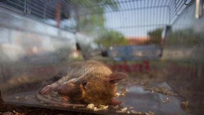 Confiscan 32 libras de carne de rata en el aeropuerto de O'Hare en Chicago