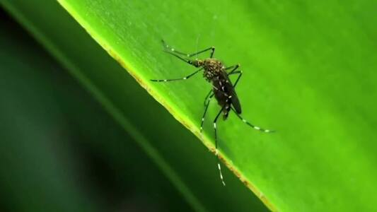 Florida libera mosquitos modificados genéticamente