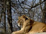 Leones del zoológico de Pittsburgh dan positivo en prueba de coronavirus