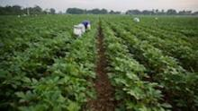 Amidst the pandemic, farmworkers deemed essential face exposure to the virus