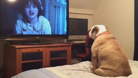 La reacción de esta bulldog al ver un film de terror con su familia se hace viral