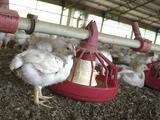 Sacrifican a 1,5 millones de pollos tras brotes de coronavirus en plantas de alimentos de Carolina del Norte