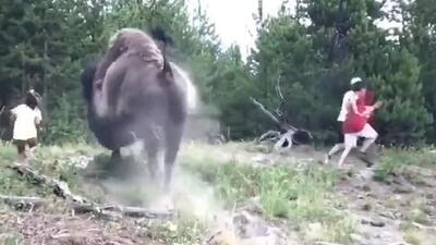 Una niña de 9 años es arrollada por un bisonte en el Parque Nacional de Yellowstone