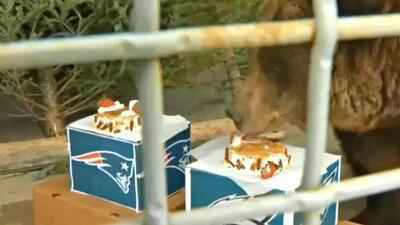 Este oso 'predijo', comiéndose un pastel, el equipo que ganará el Super Bowl LII