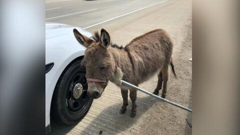 Un burro en plena autopista para el tráfico tras haberse escapado de un remolque