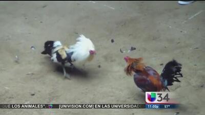 Decomisan gallos de pelea en Fontana