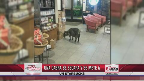 Cabra se escapa y se mete a un Starbucks