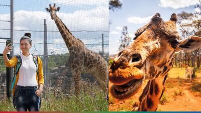 Jirafa atacó a mujer que la alimentaba en un zoológico