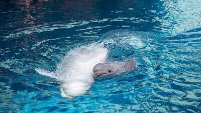 En video: El acuario Shedd da la bienvenida a un sano bebé beluga
