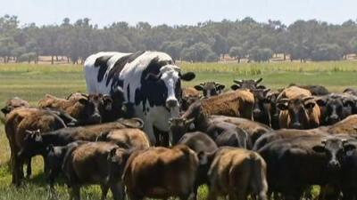 No es una vaca gigante: es un cabestro y se salvó de ir al matadero gracias a su enorme tamaño