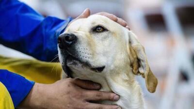 'Héroe de Hierro', el perro labrador que rescató sobrevivientes del terremoto en Taiwán