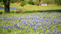 Aprovecha estos últimos días para admirar los Bluebonnets, la flor de Texas