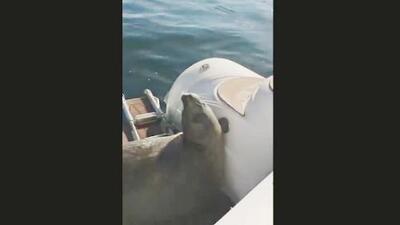 Cuando los humanos se interponen en la cadena alimenticia entre una orca y una foca