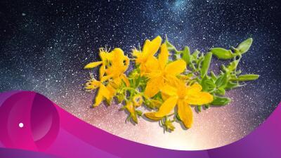 Los poderes mágicos de la hierba de San Juan (desde antidepresivos hasta espantar diablos)