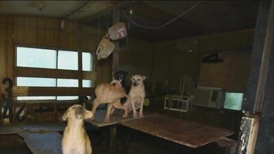 Confirman casos de brucelosis canina que podría transmitirse de perros infectados a humanos