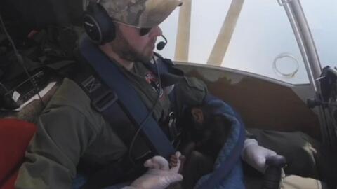 La increíble conexión entre este pequeño chimpancé salvado cuando estaba a punto de morir y sus rescatistas