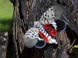 Los daños ocasionados por la mosca linterna manchada pudieran aumentar con la llegada del otoño
