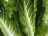 Suben a 19 los estados en alerta por el brote de E. coli relacionado con lechuga romana contaminada