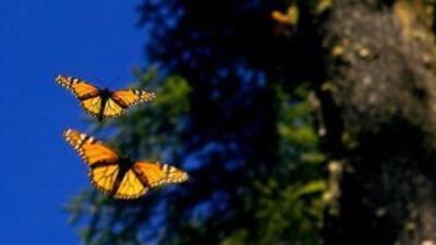 Laura Bush impulsa iniciativa de conservación para la Mariposa Monarca