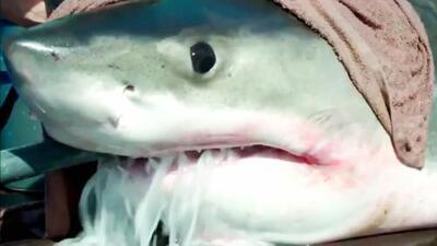 Alarma en playas de Nueva York por la presencia de un enorme tiburón blanco