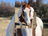 Disparan a un indefenso caballo pinto en el condado Parker y provoca indignación