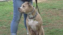 ¿Agresivos y temibles?, el estigma que pesa sobre los perros pitbull y la realidad de estas mascotas