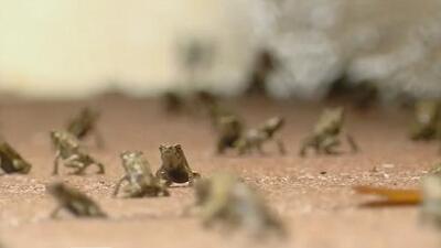 """Así trabaja una """"cazadora de sapos"""" para exterminar una plaga de estos anfibios venenosos"""