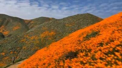Superflorecimiento de amapolas naranjas cubre de color las colinas en el sur de California