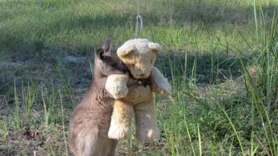 Viral: Canguro abraza a su oso de peluche