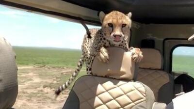 Guepardo salvaje inspecciona el interior de una Land Rover Defender