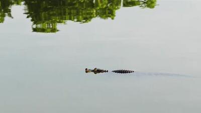 Así surgió la idea de la exitosa canción dedicada al escurridizo caimán de la laguna de Humboldt Park