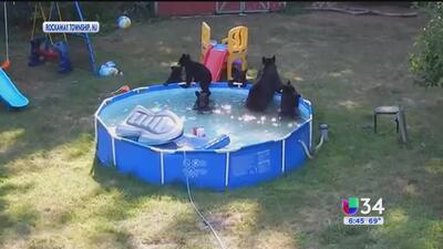 Familia de osos invadió piscina