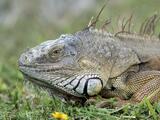 ¿Tienes una iguana como mascota?: están prohibidas en Florida a menos que tengas un permiso