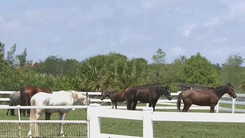 Centro ecuestre de Plantation sirve como de albergue para animales afectados por las lluvias