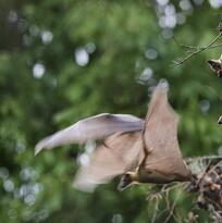 Da positivo para el virus de la rabia un murciélago hallado al sureste de Houston