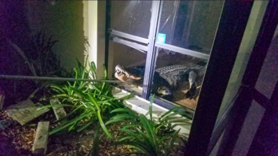 Un enorme cocodrilo se metió hasta la cocina de una residencia en Tampa durante la madrugada