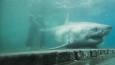 Un tiburón blanco de casi 10 pies de largo es visto en estrecho de Long Island por primera vez en la historia