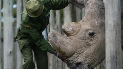 Murió 'Sudán', el rinoceronte blanco que se volvió famoso por tener una cuenta en Tinder