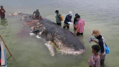 Ballena muerta hallada en una playa de Indonesia tenía unas 13 libras de plástico en su interior