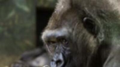 Nace tierno bebé gorila en el Lincoln Park Zoo