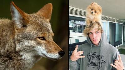 Devoran al perro del youtuber Logan Paul: los coyotes en Los Ángeles se están alimentando de mascotas