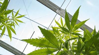 ¿Qué consecuencias legales puede traer la ley de despenalización de la marihuana en Nueva York?